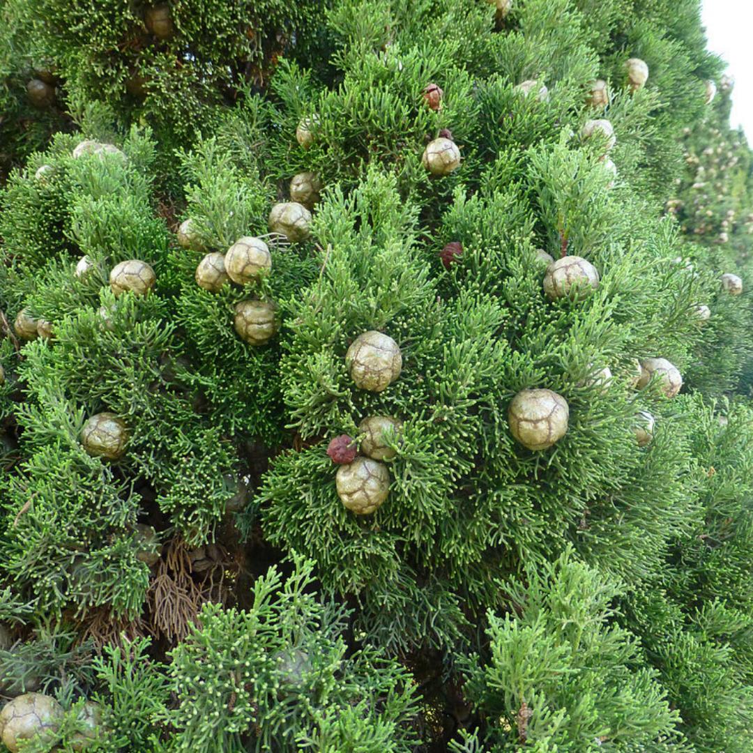 Ciprés mediterráneo Cupressus sempervirens