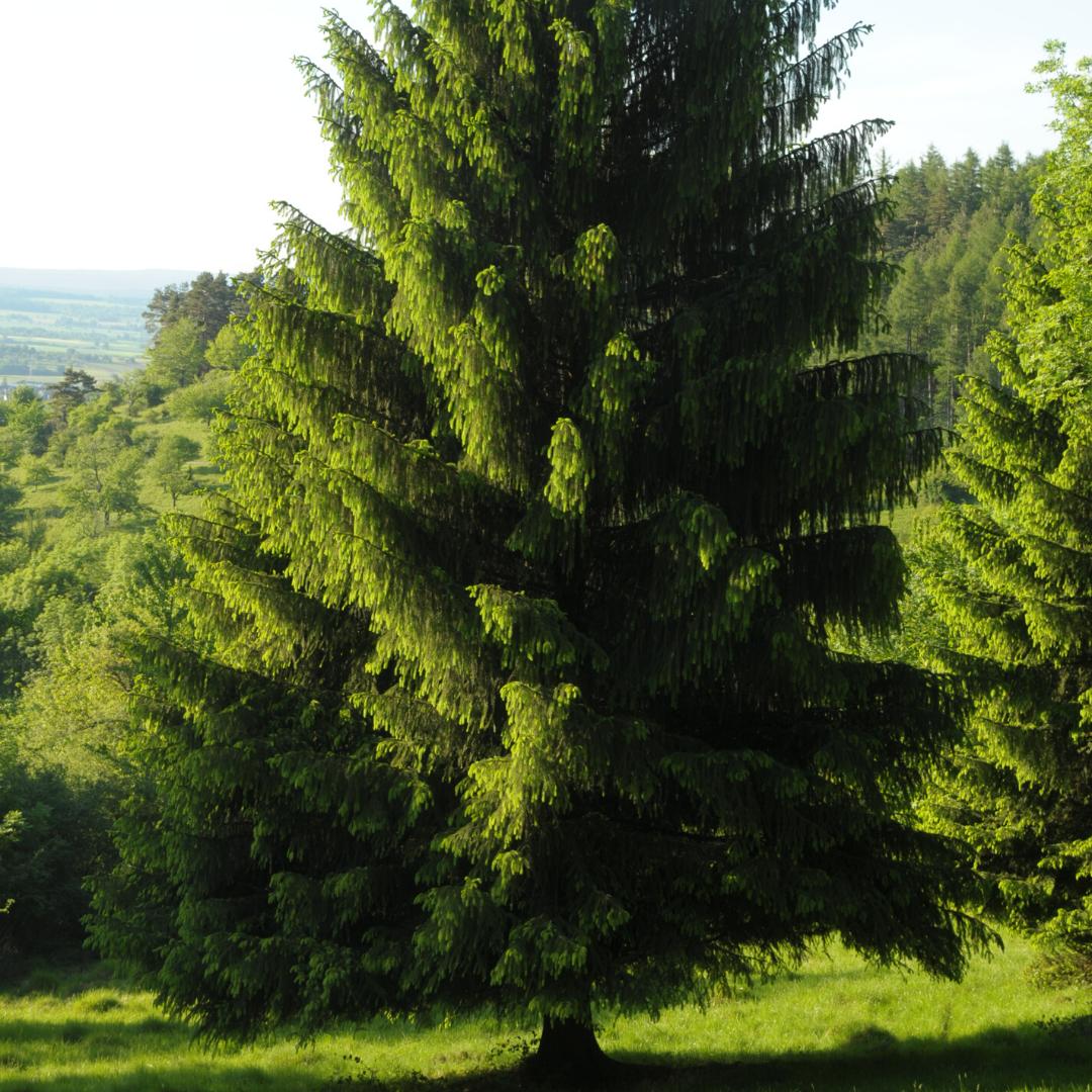 Picea común Picea abies