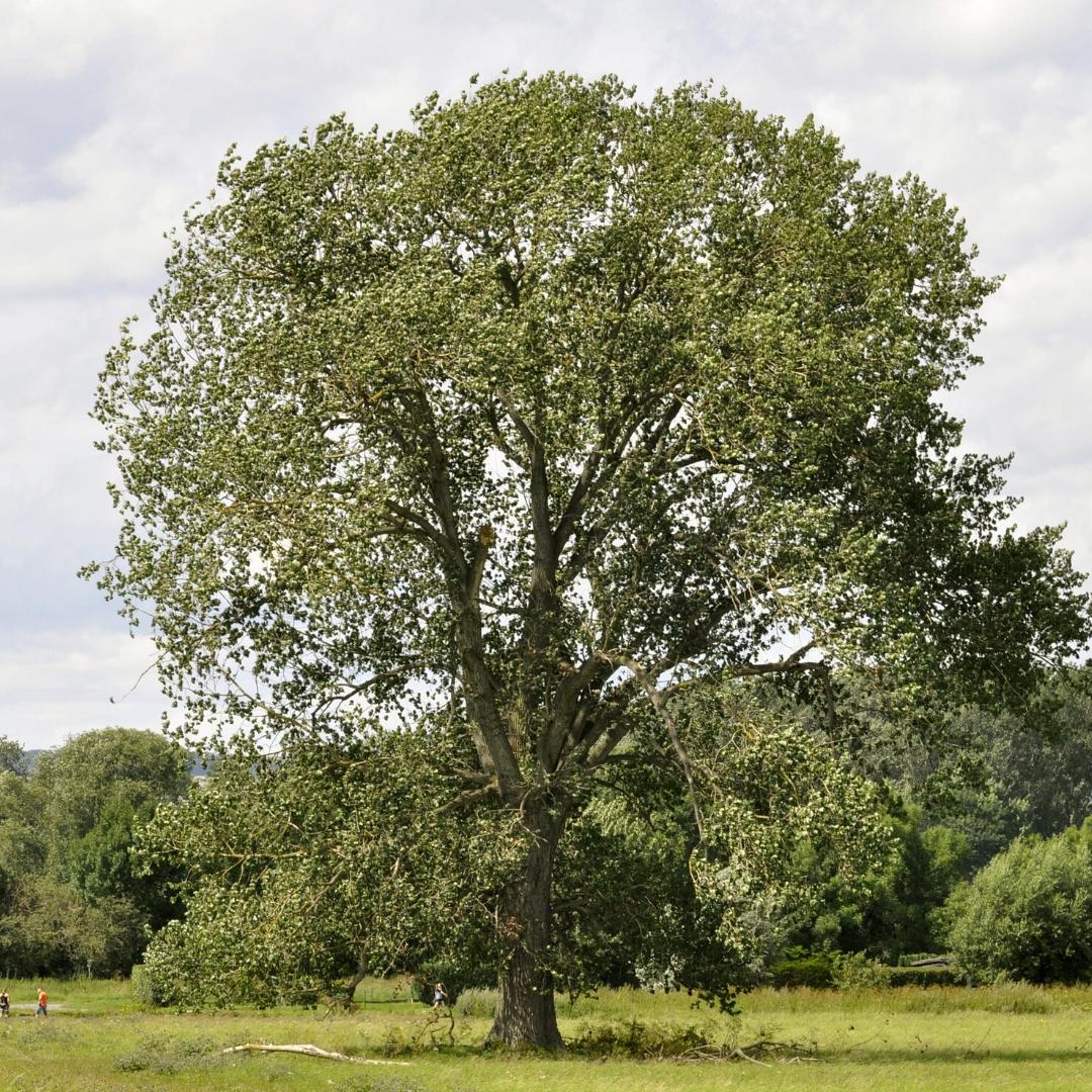 Álamo negro Populus nigra